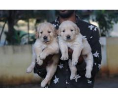 Top Quality Awesome Golden Retriever Puppies Available in Chennai All credit cards accepted
