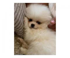 Perfect Quality Tiny Look Pom Pups For Sale
