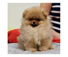 Pimpom Pups Available Here Trust Dog Kennel