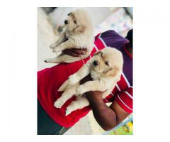 Extra ordinary Quality puppies Golden retriever available for sale in Delhi 9555944924