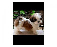 Pure Quality puppies Shih tzu available for sale in Delhi 9555944924