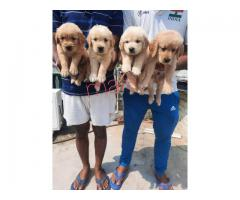 Pure Quality puppies Chihuahua available for sale in Delhi 9555944924