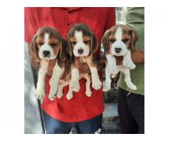 Tri colored beagle pup's available at Fancy Paws