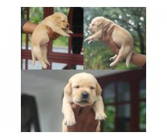 Top quality labrador retriever puppies available in Chennai