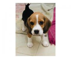 PURE QUALITY BEAGLE PUP 7042450221 AVAILABLE WITH QUALITY