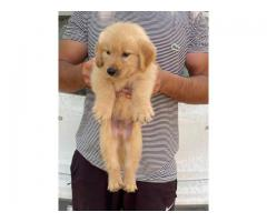 PURE QUALITY GOLDEN RETRIEVER PUP 7042450221 AVAILABLE WITH QUALITY