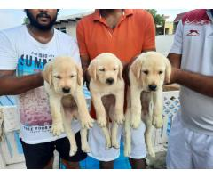 CALL US ON 7042450221, BEST LABRADOR RETRIEVER PUP FOR SALE