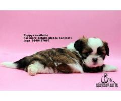 shih tzu puppies for sale in chennai