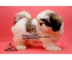 shih tzu puppies for available