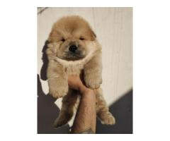 Chow chow available