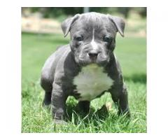 TESTIFY PET SHOP %% % PIT BULL &&&  PUPPY FOR SALE CALL NOW