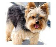 TESTIFY PET SHOP %% yorkshire terrier %%%PUPPY FOR SALE CALL NOW