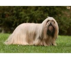 TESTIFY PET SHOP %% lhasa apso %%%PUPPY FOR SALE CALL NOW
