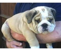 Heavy bone English bulldog dog male and female pups for sale in delhi dwarka petshop