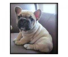 Heavy bone French bulldog male and female pups for sale in delhi dwarka petshop