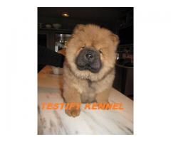 9971331250 Chow Chow dog male and female pups for sale in delhi dwarka