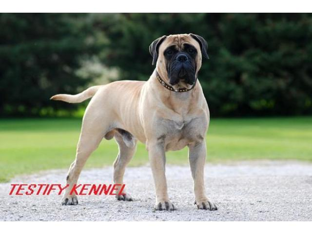 9971331250 Bull Mastiff dog male and female pups for sale in
