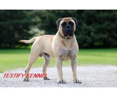 9971331250 Bull Mastiff dog male and female pups for sale in delhi dwarka
