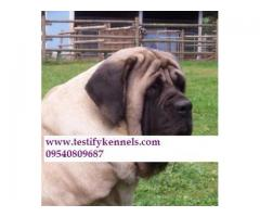 9971331250 English Mastiff dog male and female pups for sale in delhi dwarka