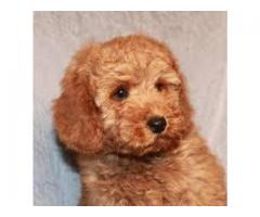 TESTIFY PET SHOP %%%%%% POODLE &&&& PUPPY FOR SALE CALL NOW
