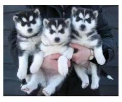TESTIFY PET SHOP %% % HUSKY &&&  PUPPY FOR SALE CALL NOW