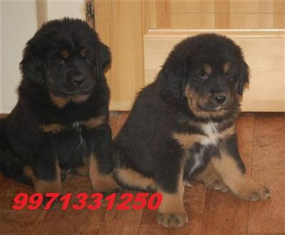 TESTIFY PET SHOP %% %% T M &&&  PUPPY FOR SALE CALL NOW