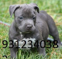 TESTIFY PET SHOP %%% pit bull  &&&  PUPPY FOR SALE CALL NOW