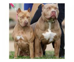 American bully pups for sale in delhi  , American Bully puppies available in india