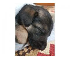 GSD puppy for sale