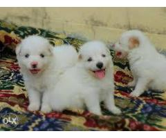 SUPER ACTIVE POMERANIAN IN DELHI NCR FOR SALE