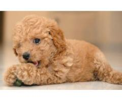 Superb Quality Toy Poodle puppies for sale at Best Price