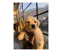 2 months old puppy for sale