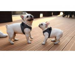 French Bulldog Pups Available For Sell TDK