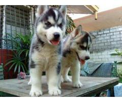 Siberian Husky Pups Available In Delhi at Asia Pets