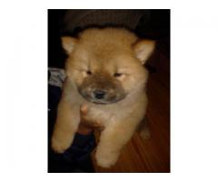 Chow Chow Pups Available In Delhi at Asia Pets