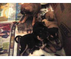 Indian rottweiler cross breed male and female for farm house.