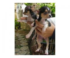 Chihuahua Puppies Available In Best Range in Delhi at Asia Pets