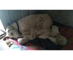 8 Rajapalayam Puppies for Sale