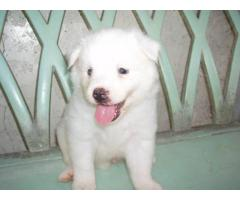 Pomeranian for Sale, Pomeranian Puppies for Sale in Delhi Ncr