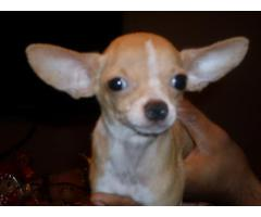Chihuahua for Sale, Chihuahua Puppies for Sale in Delhi Ncr