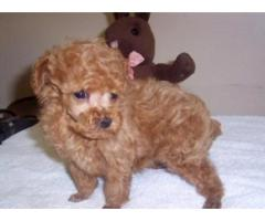 Heavy Bone Poodle puppy for sale in Delhi at Asia Pets