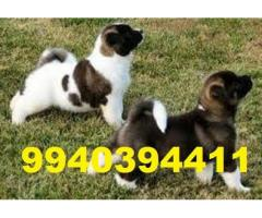 akita puppies for sale in chennai