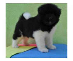 TESTIFY PET SHOP %% % akita &&&  PUPPY FOR SALE CALL NOW