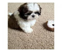 9212501257 Dog.. Heavy Bone ( Shihtzu  ) for sale