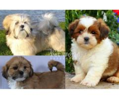 Lhasa Apso puppies in Chandigarh