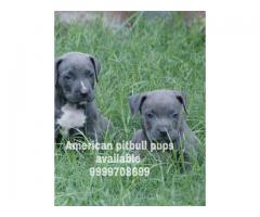 American pitbull pit bull and American bully pups available