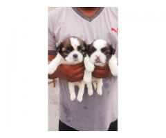 Buy or sale Lhasa Apso Puppies available in Chandigarh
