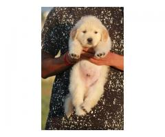 Top quality Golden retriever male puppy
