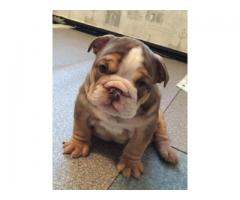 Trust Kennel Offer's English BullDog Puppies For Sell