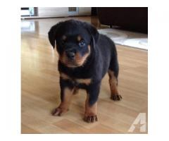 HEAVY SIZE ROTTWEILER Female PUPPIES for adoption